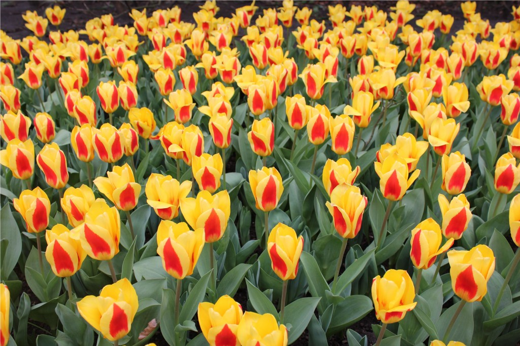 flowers at Keukenhof Gardens